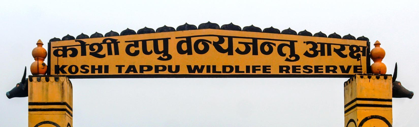 Arna Buffalo at Koshi Tappu Wildlife Reserve